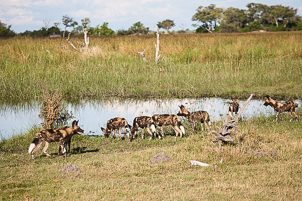African-Hunting-Dog-9117