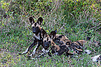 African-Hunting-Dog-010