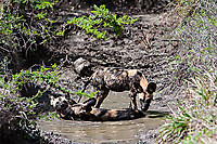African-Hunting-Dog-029