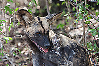 African-Hunting-Dog-035
