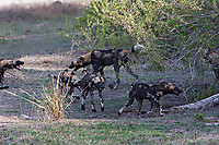 African-Hunting-Dog-038
