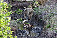 African-Hunting-Dog-044