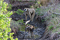 African-Hunting-Dog-045