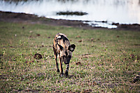 African-Hunting-Dog-9047