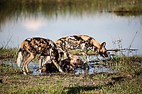 African-Hunting-Dog-9079
