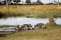 African-Hunting-Dog-9110