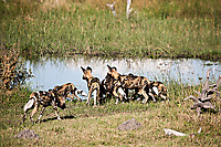 African-Hunting-Dog-9120