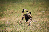 African-Hunting-Dog-9134