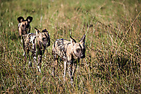 African-Hunting-Dog-9153