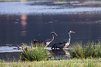 Kranich - Common Crane